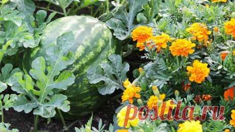 Несовместимые растения и растения-спутники