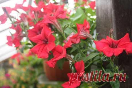 Сохраним петунию до весны - Садоводка