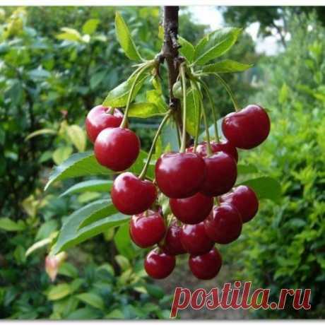 Правильно осуществляйте подкормку вишни