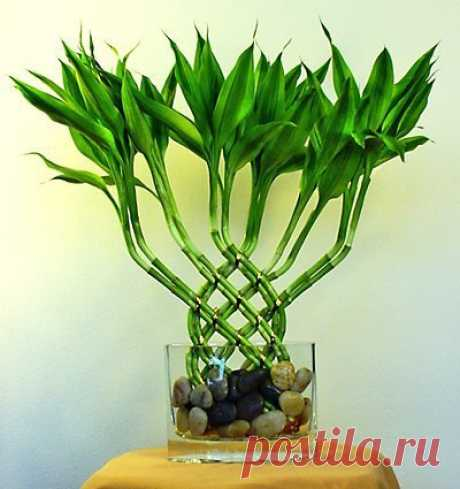 Happy bamboo: value, history and rules of leaving Such plant as the Happy bamboo to inhabitants of the West is a new experience, but it is one of the main symbols the Feng shui which is perfectly combining a combination of five elements of energy designated in feng shui. What means Sch …