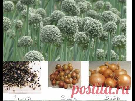 Onions - a chernushka - Subwinter crops and spring result
