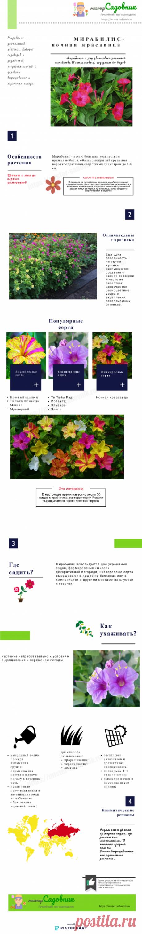 Мираблис или ночная красавица - особенности выращивания цветка