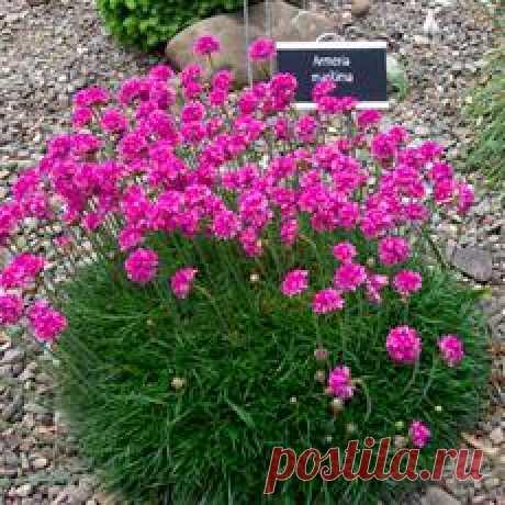 Армерия - прекрасный садовый цветок