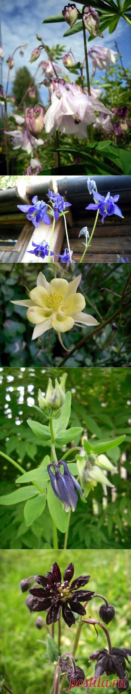 Аквилегия: виды и выращивание!Или иначе — водосбор, выделяется совершенно необычной формой цветка с коротким искривленным или длинным прямым шпорцем. Цветки располагаются на высоких цветоносах, поднимающихся над густой листвой. Аквилегия — многолетнее растение, которое, тем не менее, регулярно (каждые 3 — 4 года) нуждается в обновлении посадок. Впрочем, это обычно не проблема, потому что водосборы хорошо размножаются самосевом.