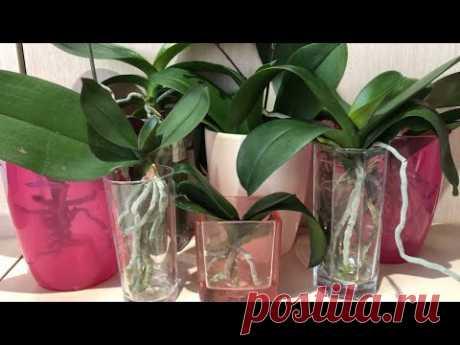 Эффективная реанимация орхидей в воде. Система 5/2. Орхидея без корней как нарастить корни