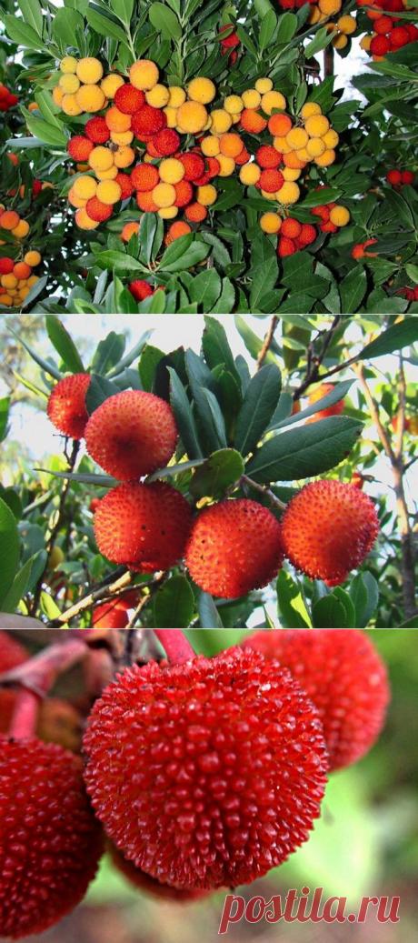 Земляничное дерево: особенности выращивания и польза