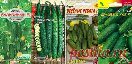 Огурцы на Подоконнике: выбор сортов и подготовка семян