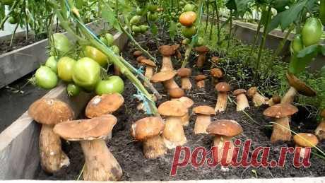 Грибы на дачном участке,простой метод выращивания.   Дачные советы   Яндекс Дзен