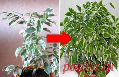 Как оживить самое хилое комнатное растение — Бабушкины секреты