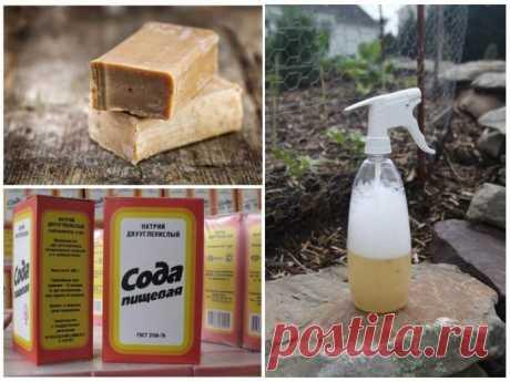 Сода для обильного урожая чёрной смородины: рецепты применения и обработок