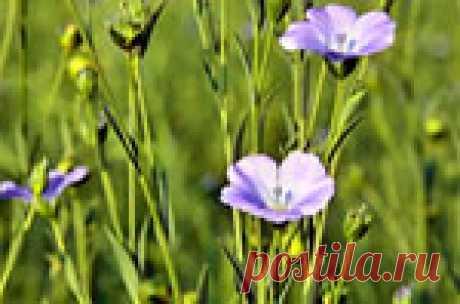 Использование семян льна в лечебных целях Семена льна знамениты своими полиненасыщенными жирными кислотами. Причем в них содержится рекордное количество жирной кислоты Омега-3. Её в нем даже больше, чем в рыбьем жире! Кроме того, там есть также жирные кислоты Омега-6 и Омега-9.