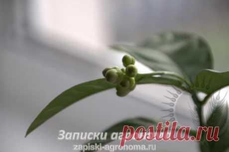 Как правильно обрезать цитрусовые дома • zapiski-agronoma.ru %