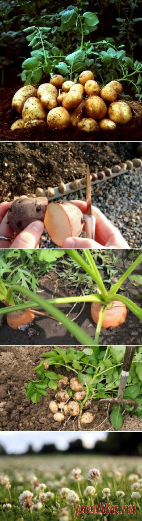 Что можно сажать после картошки: картофель, клубнику, тыкву, что лучше посадить на следующий год, сидераты, совместные посадки, фото, видео