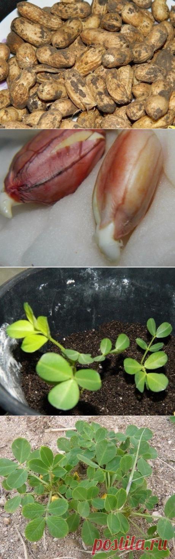 Как вырастить земляной орех – арахис? | 6 соток
