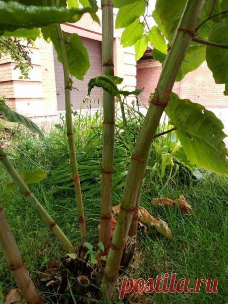 Сибирский бамбук. Или как вырастить за 2 недели забор на даче. | БУТИК НЕВИДАННЫХ РАСТЕНИЙ | Яндекс Дзен