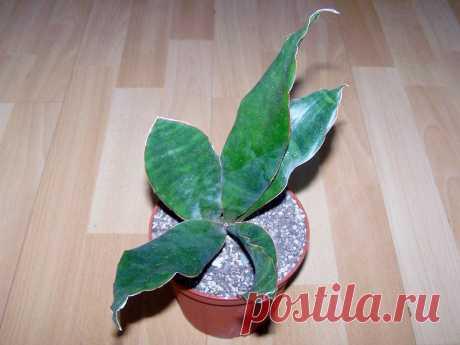 Сансевиерия — исключительно выносливое растение для украшения интерьера. Уход в домашних условиях. Фото — Ботаничка.ru