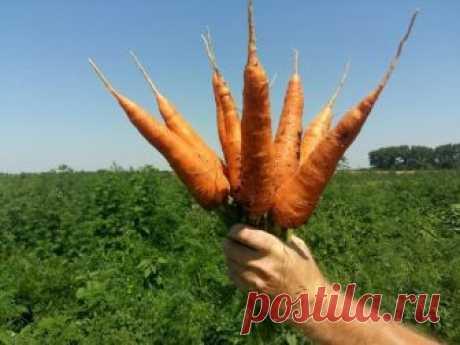 Для того, чтобы в дальнейшем морковь хорошо хранилась её нужно вовремя убрать с грядки и не передержать. Многие ждут первых заморозков, считая что так морковь станет слаще. А в своей статьей я расскажу о 3-ёх простых признаках как не ошибиться со временем вытаскивания моркови.