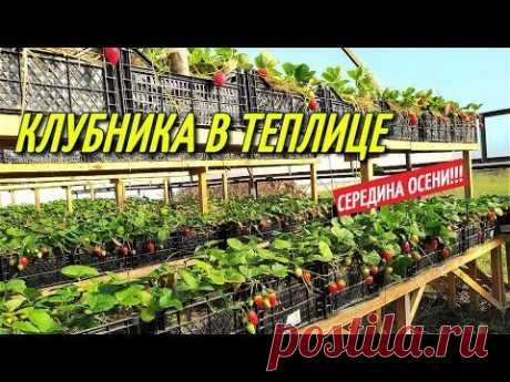 КЛУБНИКА В ТЕПЛИЦЕ/Середина осени.