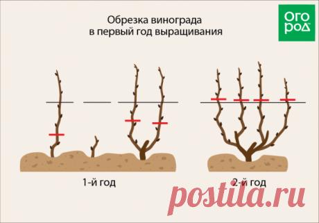 La uva en el primer año la cultivación – los consejos de la plantación correcta y la partida | la Uva (Огород.ru)