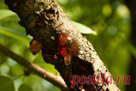 Почему вишня и черешня сочатся камедью
