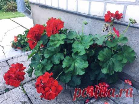 Две наипростейшие подсказки любителям гераней — цветов будет множество и листья не пожелтеют | Собираем урожай | Яндекс Дзен