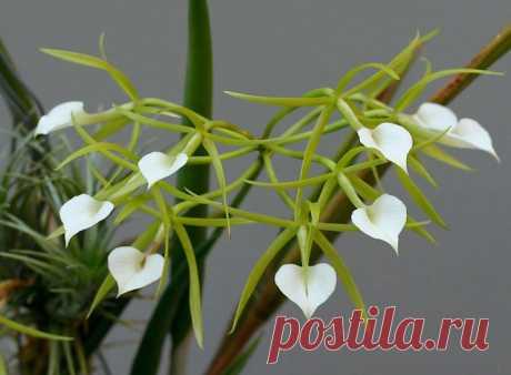 Орхидея брассавола: уход в домашних условиях, пересадка и полив