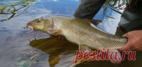 3 рыбы российских рек, которыми можно смертельно отравиться при неправильной обработке | Рекомендательная система Пульс Mail.ru