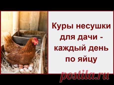Куры несушки для дачи - каждый день по яйцу