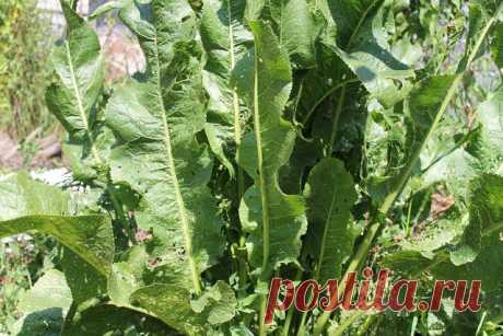 Хрен – единственное растение, способное вытягивать соль через поры кожи. СДЕЛАЙТЕ – НЕ ПОЖАЛЕЕТЕ! Избавиться от всей соли, которая накопилась в организме и может привести к солевым болезненным отложениям, помогут листья хрена.. Напоминаю проверенный и безотказный рецепт. Возьмите свежие крупные листья хрена – 2 шт. Перед сном окуните их с двух сторон кипяток и сразу положите на спину, захватывая шею. Обвяжите тканью. Возможно легкое жжение, но боли нет.   Утром осторожно с...