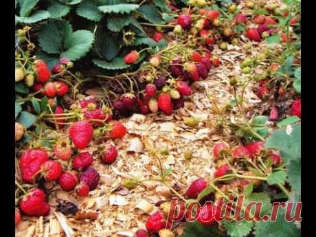 How to plant strawberry? Video how it is correct to plant strawberry! - YouTube