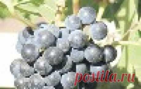 Изабельные сорта винограда Изабелла есть или была практически на всех участках. Это зимостойкий, неприхотливый и урожайный сорт. Он редко поражается болезнями, но нелюбим многими из-за слизистой мякоти. Между тем, изабельный ар...