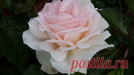 Обрезка чайно-гибридных роз первогодок,посадка весна 20г.Сорт Барбадос и обзор других роз(под видео)