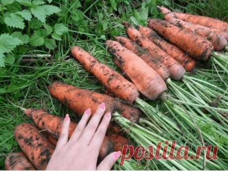 Чем подкормить морковь в августе, чтобы получить Красивую,ровную и крупную морковь | Люблю свою дачу | Яндекс Дзен