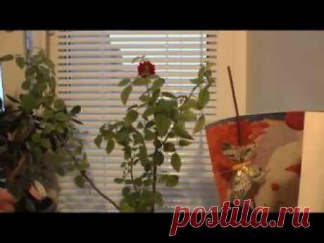 Обрезаем комнатную мини розу на зиму (роза Кордана)