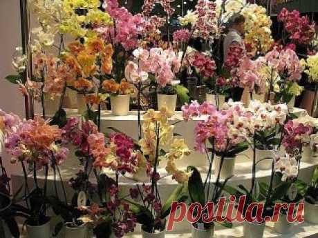 как размножать орхидею