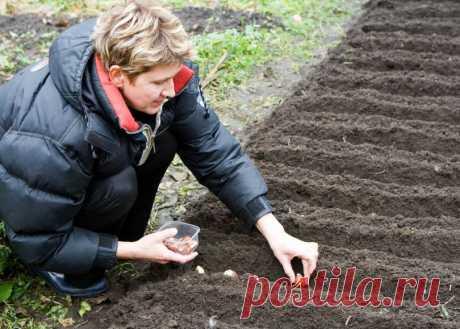 Пора сажать: все о посадке тюльпанов осенью