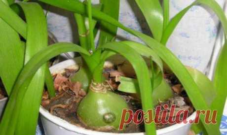 ¡La cebolla indio – curativo! Los consejos útiles. >>>>>>>
