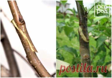 Прививка плодовых деревьев весной: сроки и способы прививки | Уход за садом (Огород.ru)