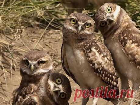 семья сов