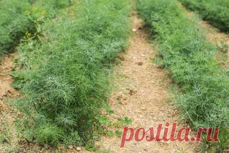 Укроп будет зелёным, сочным и душистым | Секреты садоводства/цветоводства | Яндекс Дзен
