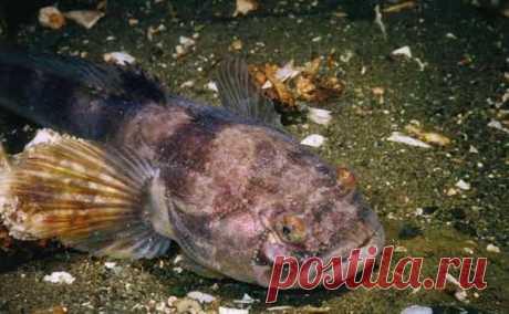 «Нем, как рыба» – это точно не про самцов тихоокеанской рыбы-мичман. Они гудят, жужжат и скрежещут – и концерт может длиться до двух часов кряду.