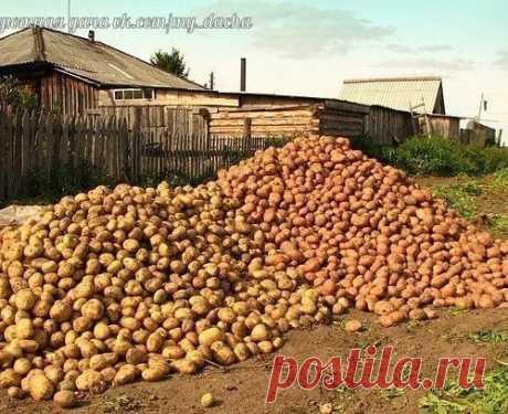Как вырастить богатый урожай картофеля (до 5 кг с одного куста!)