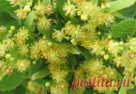 Цветы липы не только красивы и ароматны, но ещё и очень полезны. Цветы липы широко применяют в качестве лекарственного средства в народной медицине. Дерево липы растёт в основном как декоративное растение, растёт липа в парках, в садах, в лесах. Очень красиво дерево липы в период цветения и