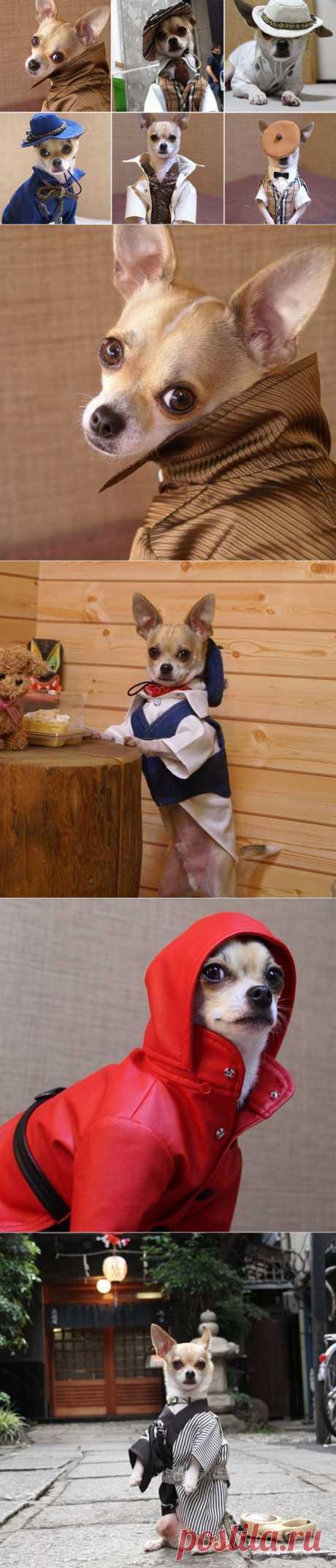 Самый модный японский чихуахуа по имени Монтжиро   Фотография   Фотография