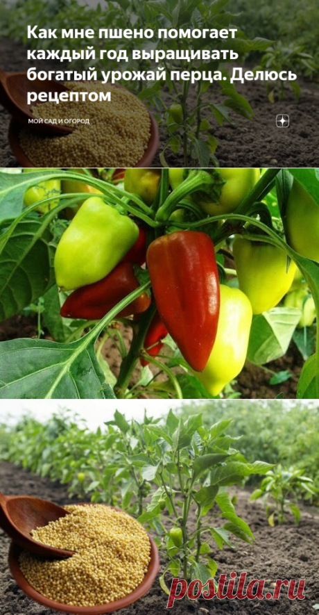 Как мне пшено помогает каждый год выращивать богатый урожай перца. Делюсь рецептом | Мой сад и огород | Яндекс Дзен