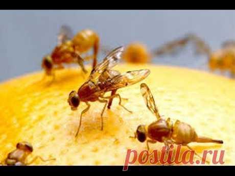 Опасные фруктовые мошки: как от них избавиться
