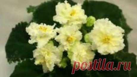 фиалки будут цвести 10 месяцев в году Комнатные фиалки – одни из самых любимых комнатных цветов у многих цветоводов. они радуют глаз своим цветением, но не многие знают, что цветут фиалки 10 меся...