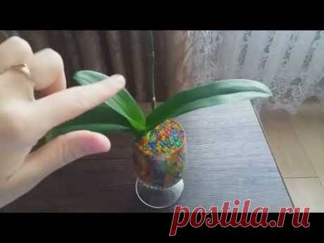 La resucitación de la orquídea. Dejamos crecer las raíces