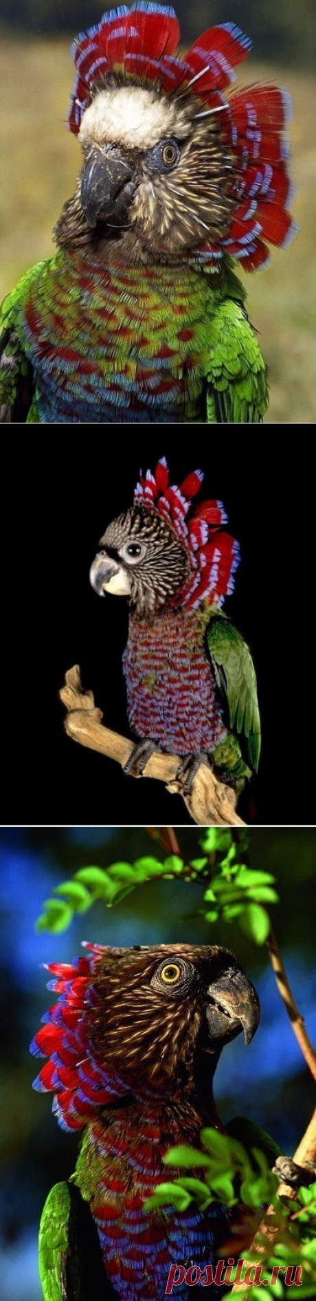 Веерный попугай