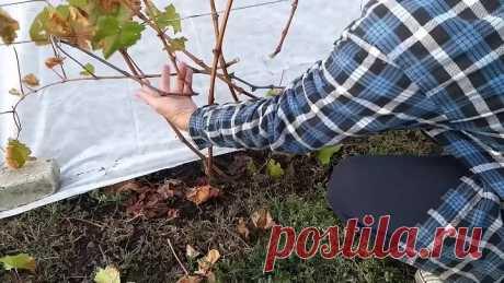 Обрезка двухлетнего куста винограда очень простая
